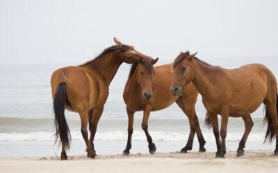 Kan CBD olja hjälpa hästar?