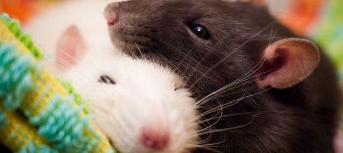 CBD och mus