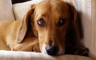 Så kan CBD-olja hjälpa ditt husdjurs oro